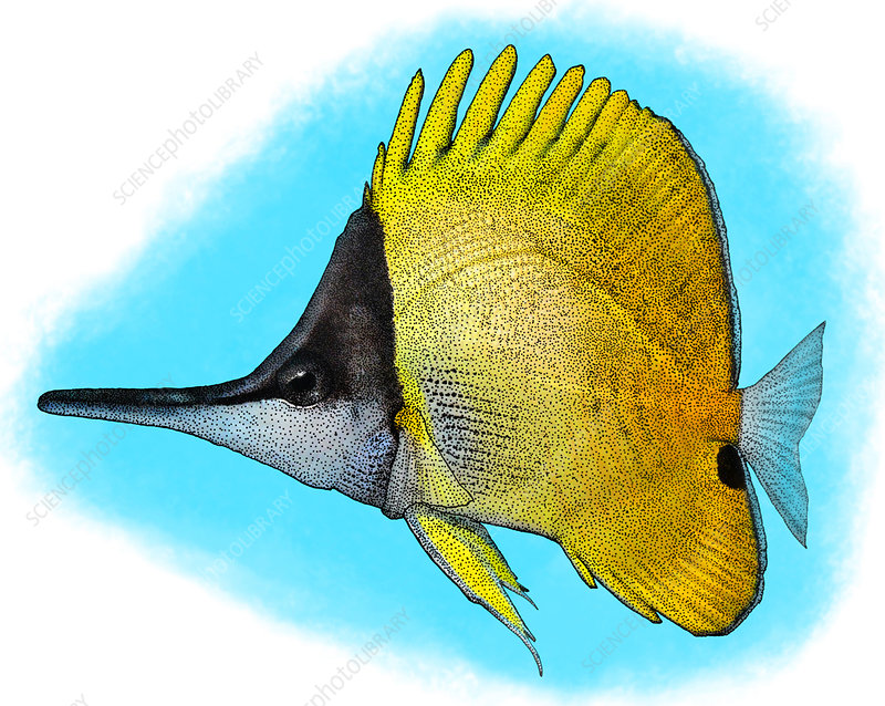 Longnose Butterflyfish, Illustration