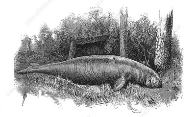 Dugong, Sea-Cow, Illustration
