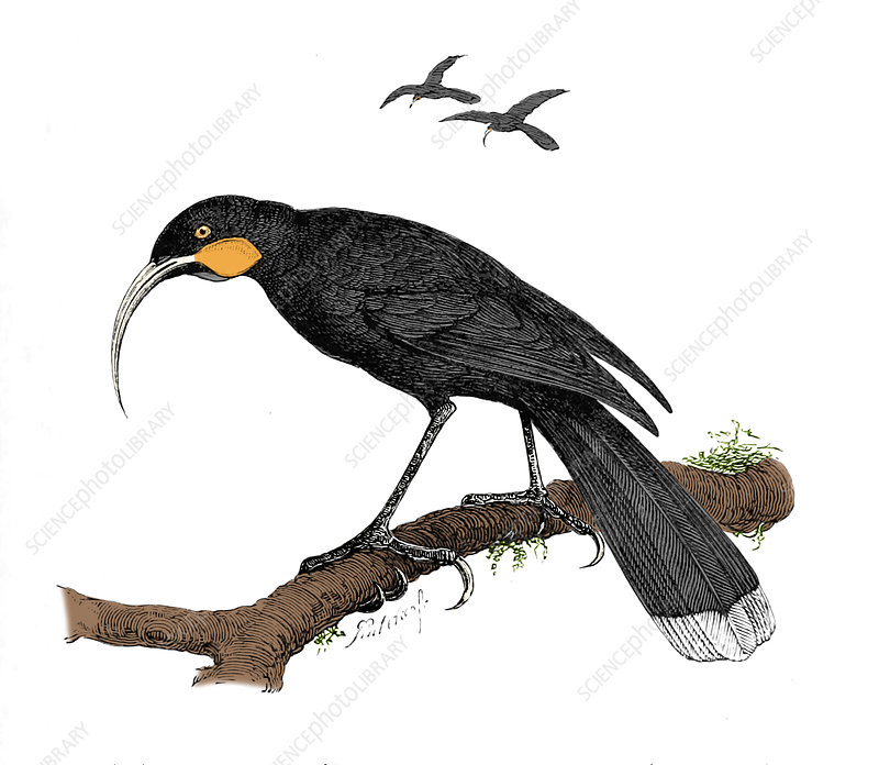 Huia, Extinct, Illustration