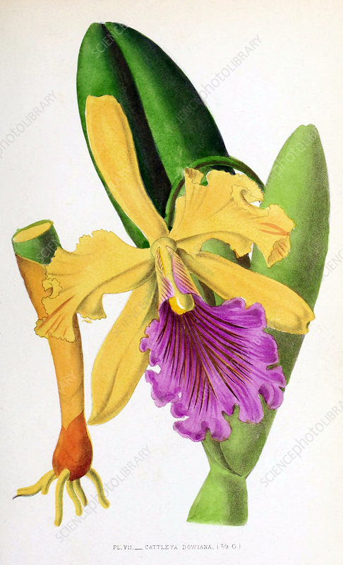 Orchid, Illustration