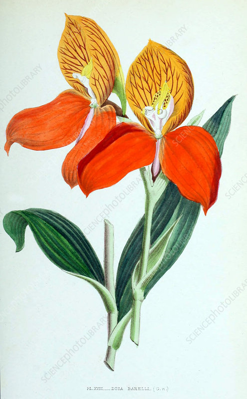 Orchid, Disa barelli, 1880, Illustration