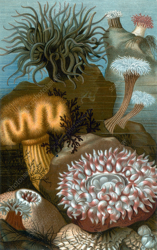 European Sea Anemones, Illustration