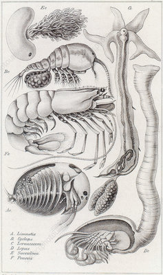 Marine Fauna, Illustration