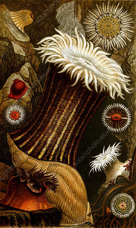 Sea Anemones, 1860, Illustration
