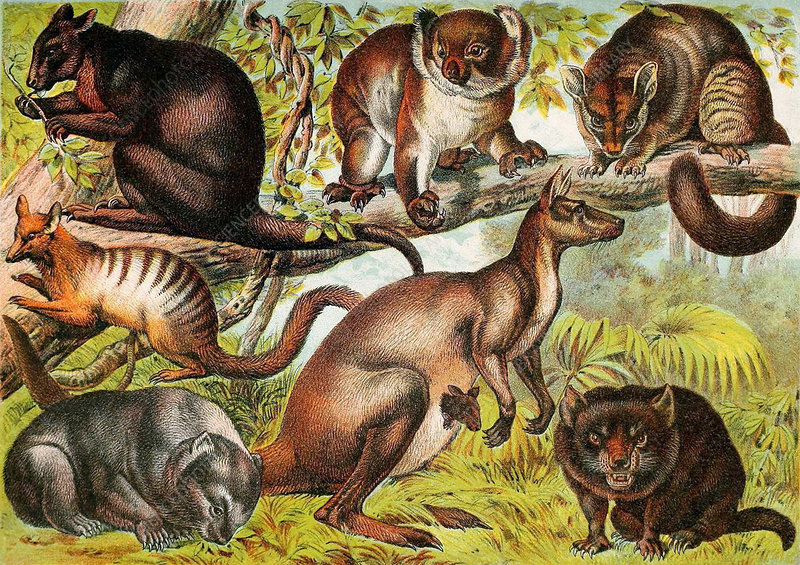 Marsupials, Illustration