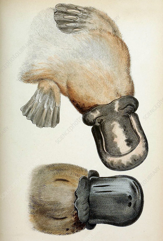 Duck-Billed Platypus, Illustration