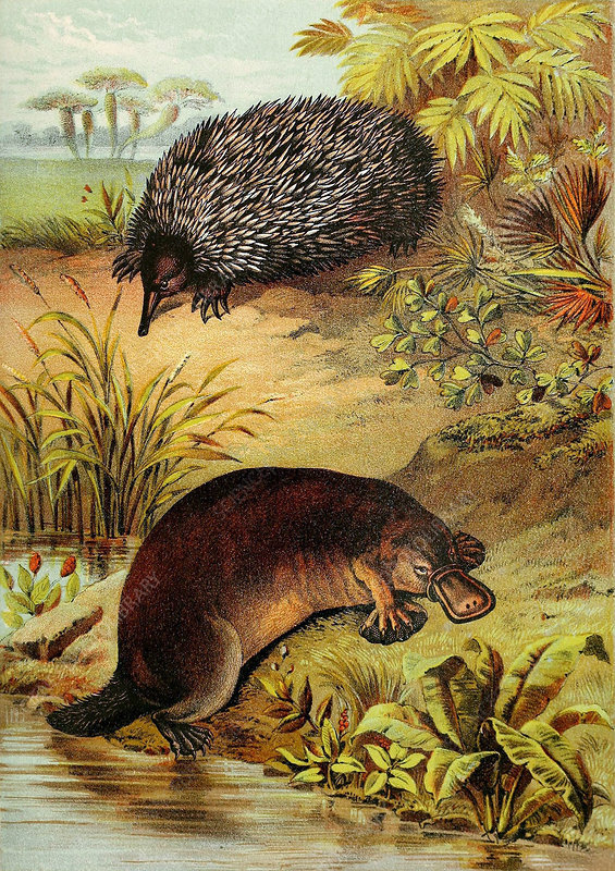Echidna and Platypus, Illustration