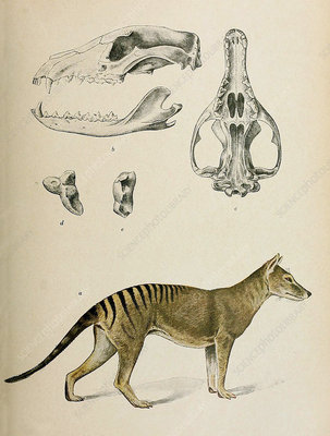 Tasmanian Tiger, Illustration