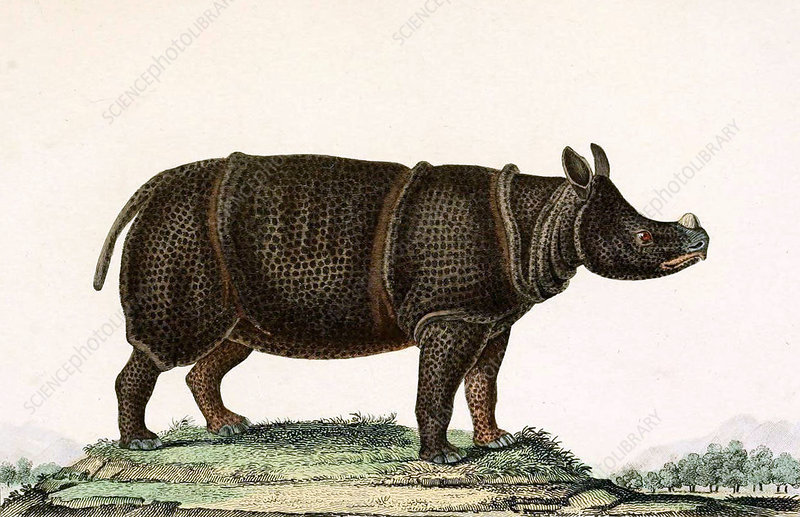 Javan Rhinoceros, Illustration