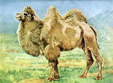 Bactrian Camel, Illustration