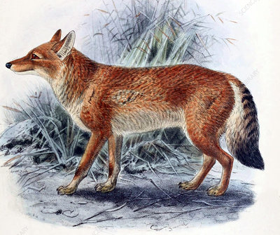 Ethiopian Wolf, Illustration