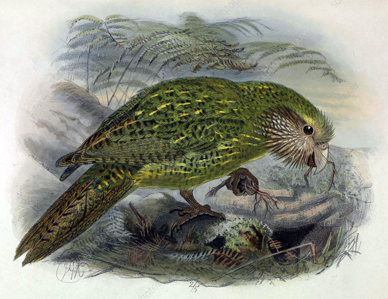Kakapo, Endangered Species, Illustration