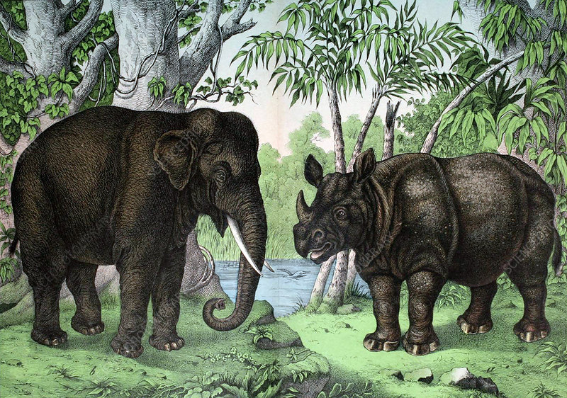Elephant and Rhinoceros, Illustration