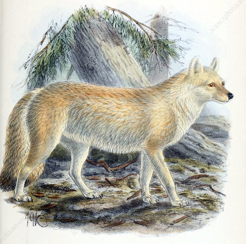 Dhole, Endangered Species, Illustration
