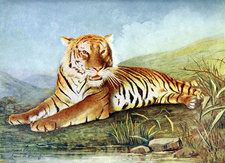 Bengal Tiger, Illustration