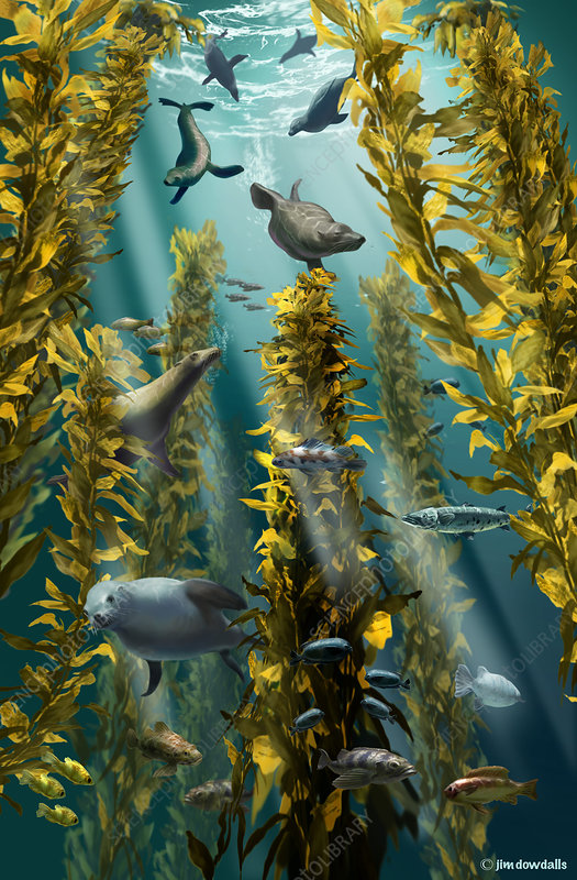 Kelp Forest with Seals, Illustration