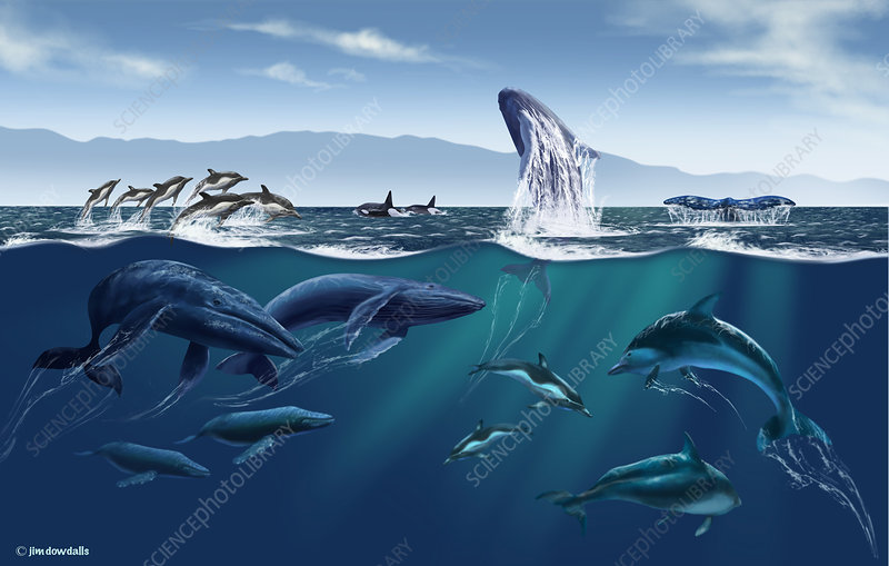 Channel Islands Whales, Illustration