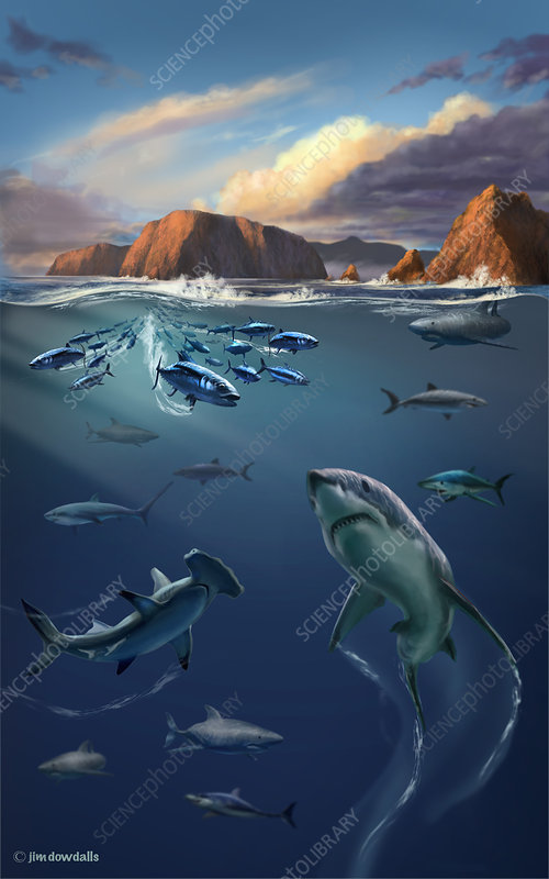 Channel Islands Sharks, Illustration