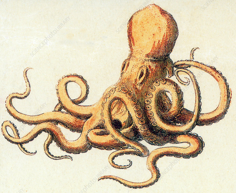Octopus, Illustration