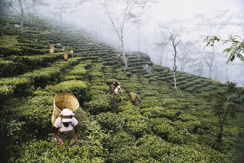 Picking Tea near Darjeeling, Himalayas