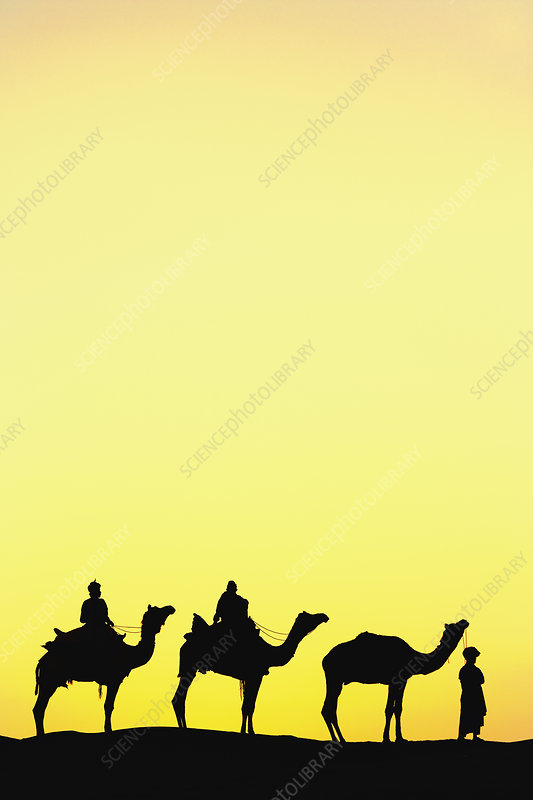 Camel Silhouette, India