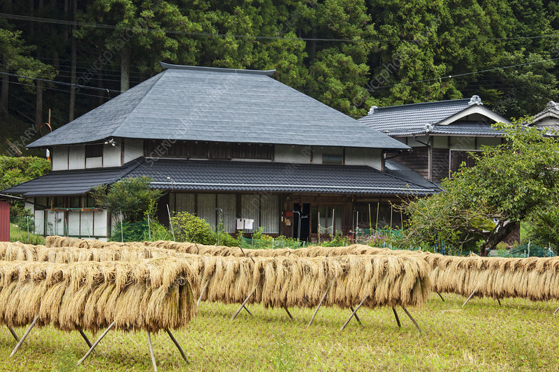 Harvested Rice Drying, Japan