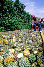 Pineapple Plantation, French Antilles