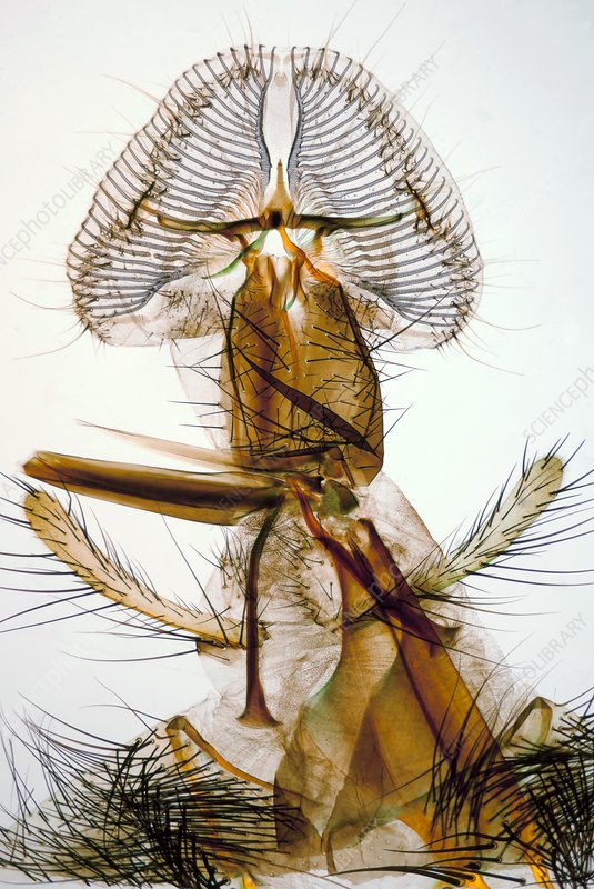 Blowfly proboscis, polarised microscopy