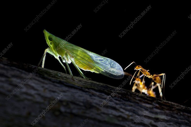 Ants milking a planthopper