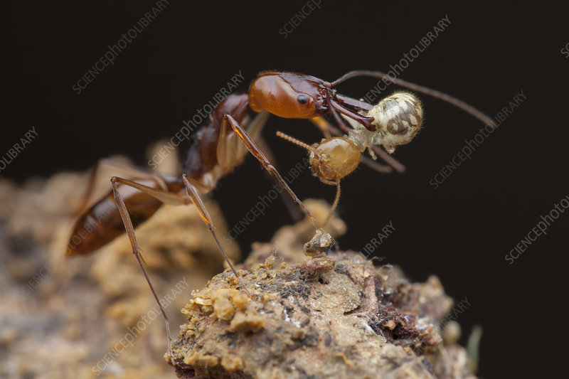 Trapjaw ant with termite prey