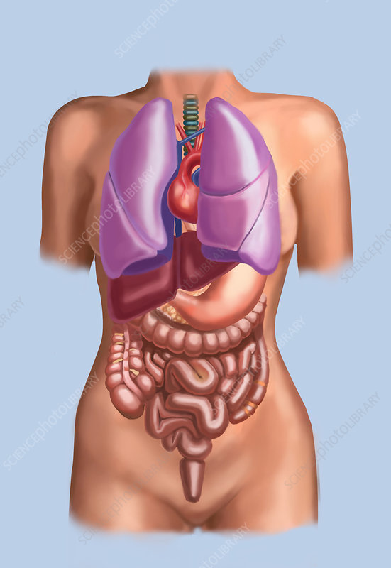 Organ System, Female Torso, Illustration