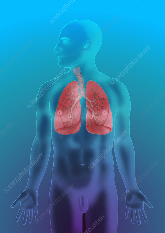 Respiratory System, Illustration