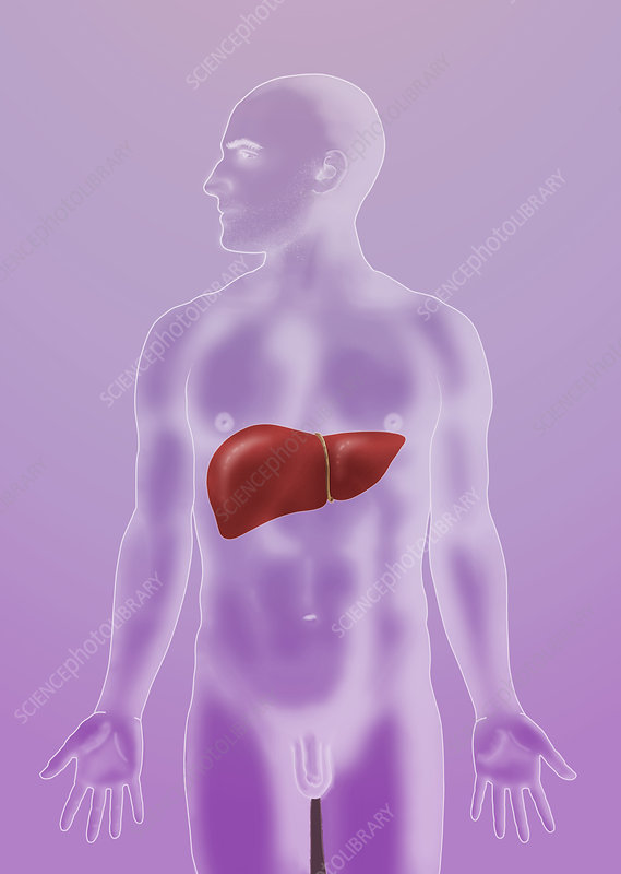 Anatomical Position, Liver, Illustration