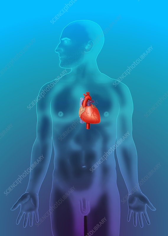 Anatomical Position, Heart, Illustration