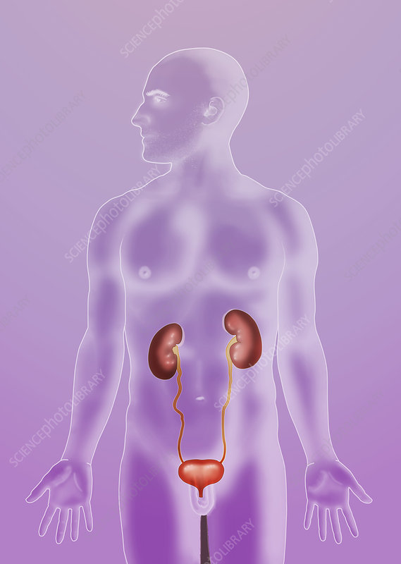 Urinary System, Illustration