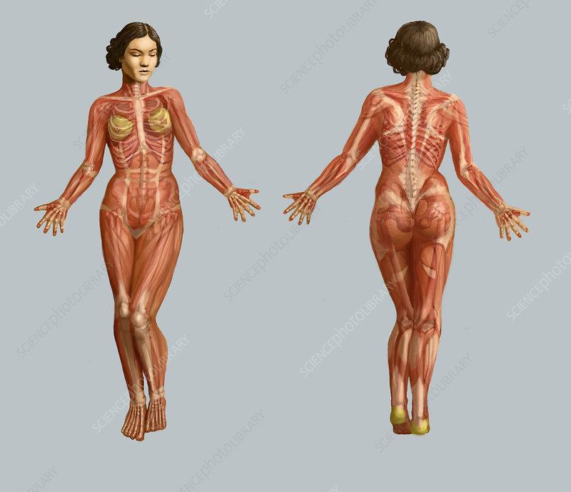 Human Muscular System Illustration Stock Image C0276252