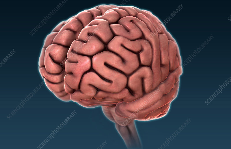Human Brain, Artwork, Illustration