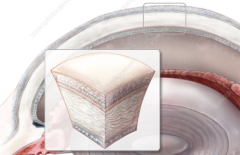 Cornea Section, Illustration