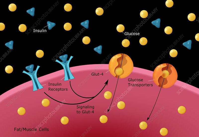 Insulin Glucose Production, Illustration