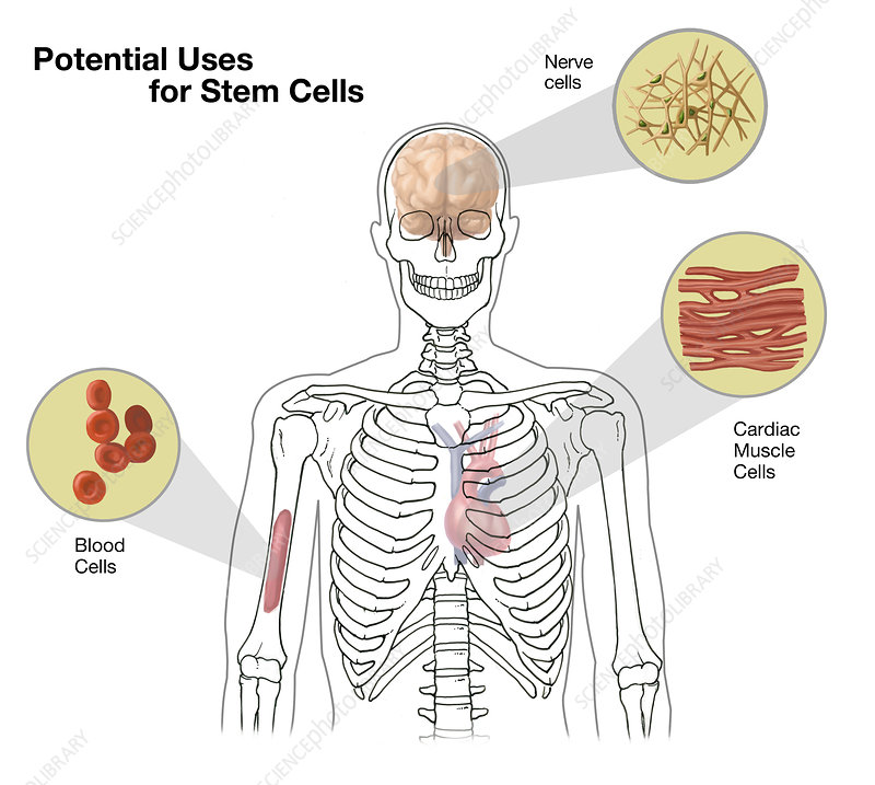 Uses for Stem Cells, Illustration