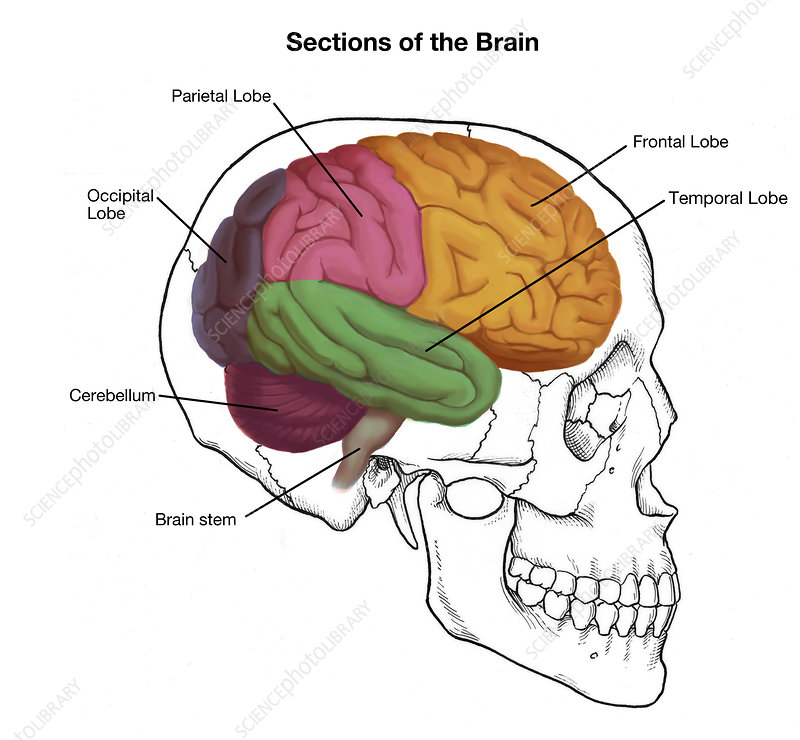 Sections of the Brain, Illustration