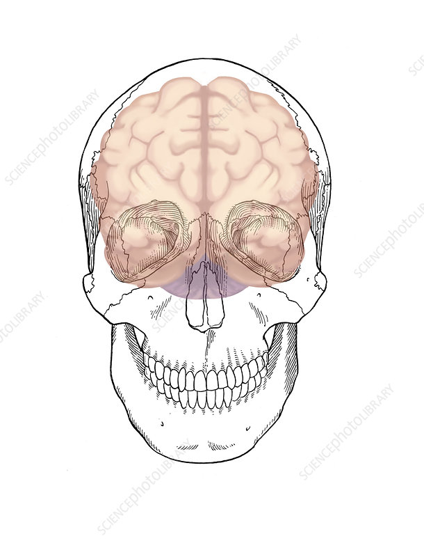 Skull and Brain, Illustration