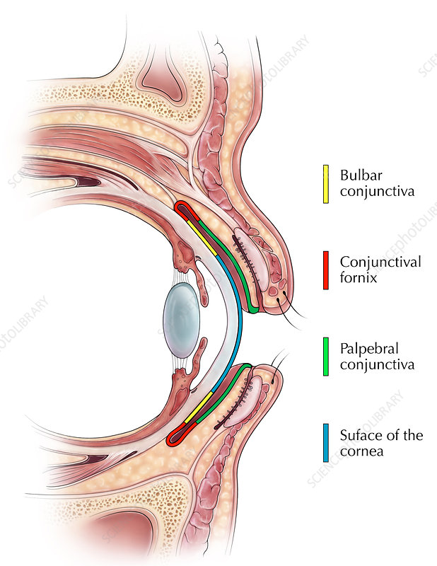 Conjunctiva Illustration, Illustration