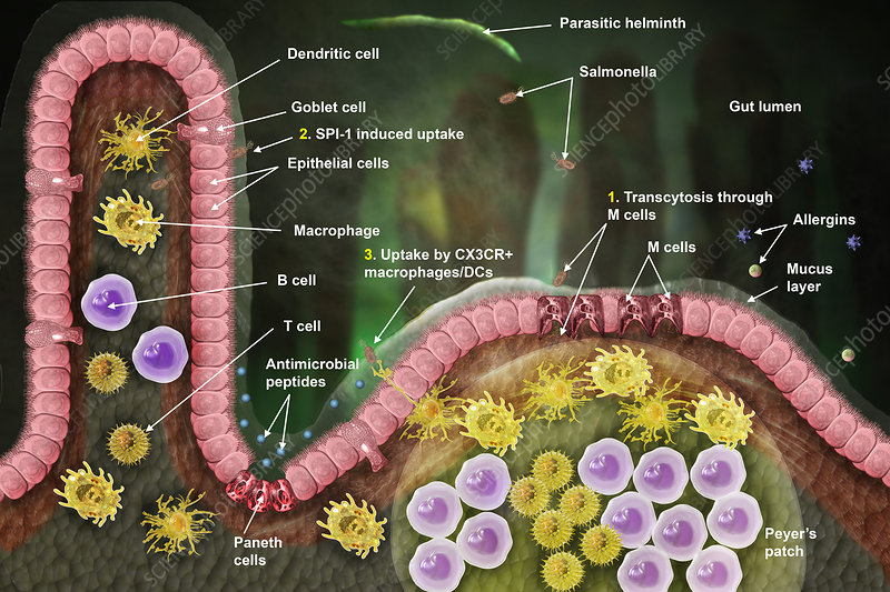 Lymphatic Cell Response, Illustration
