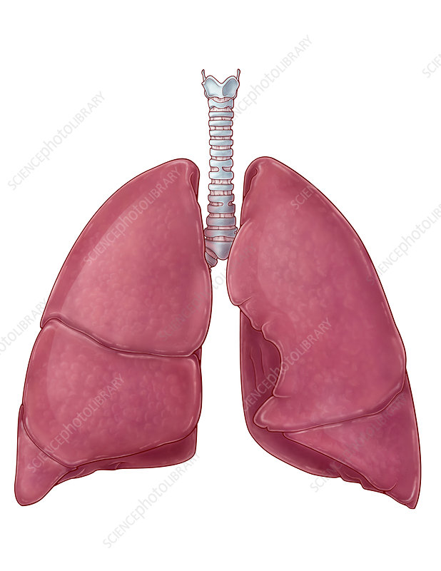 Lungs, artwork, Illustration