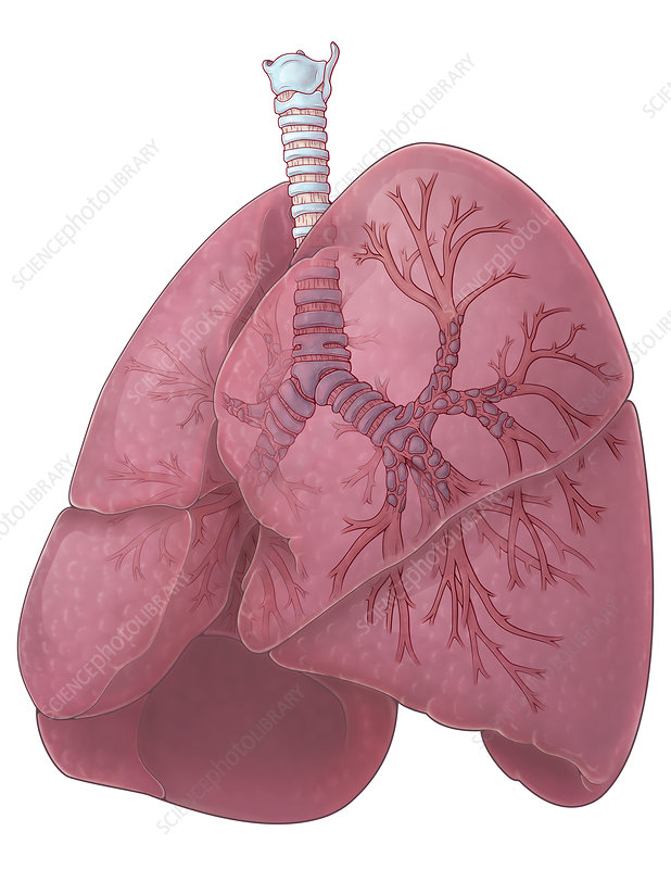 Lungs and Bronchi, Illustration
