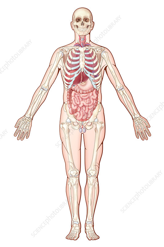 Organ Systems, Illustration