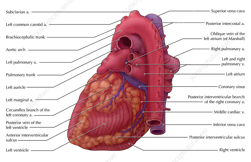 Heart Illustration, Illustration