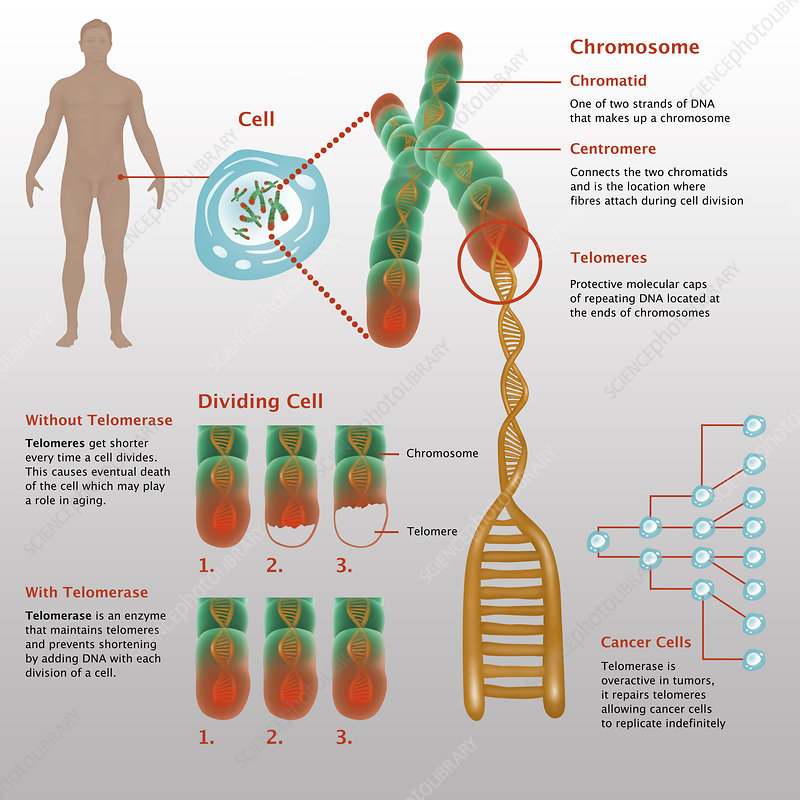 Chromosomes & Telomerase, Illustration