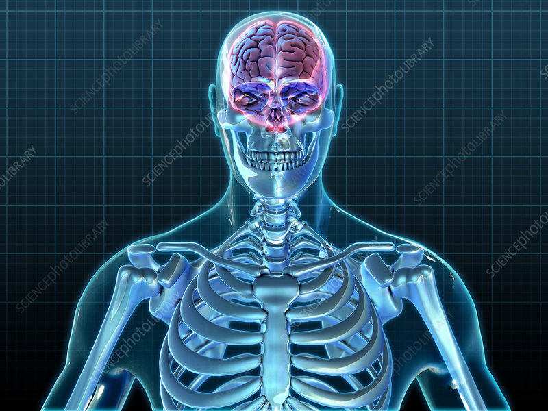 Human Skeleton and Brain, Illustration